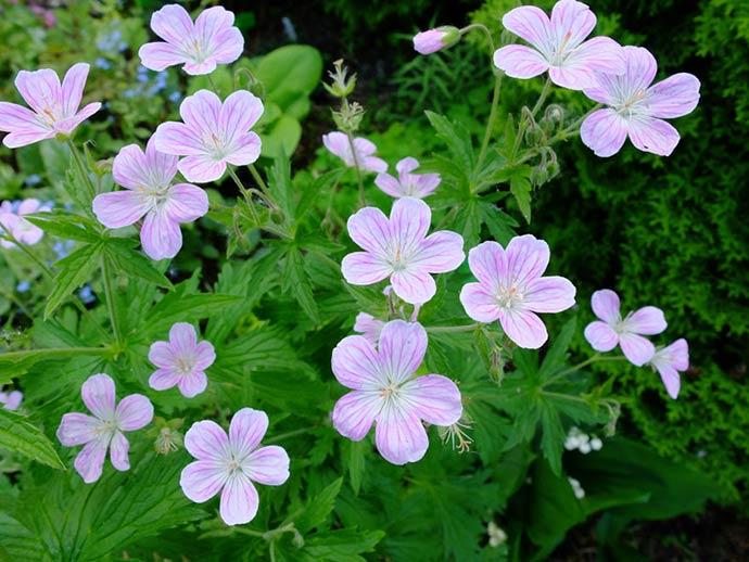 Герань садовая «Мелинда» (Geranium Melinda)