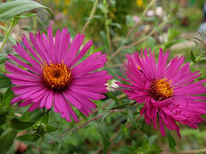 Цветок астра пурпурно-розовая © blumgarden.ru