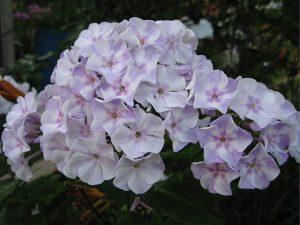 Флокс метельчатый бело-сиреневый фарфоровый © Blumgarden.ru