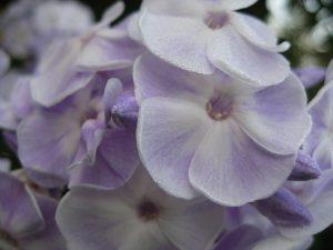 Флокс метельчатый светло-сиреневый фарфоровый