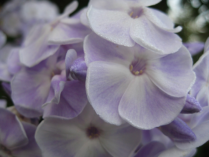 Флокс метельчатый светло-сиреневый фарфоровый © blumgarden.ru