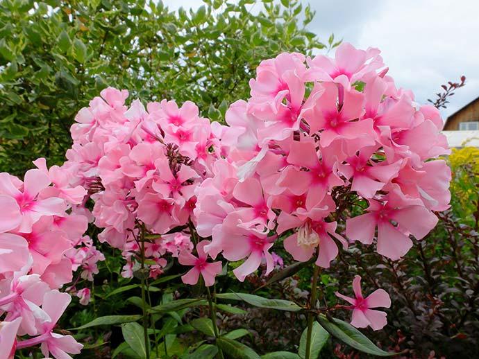 Флоксы метельчатые нежно-розовые с ярко-розовым центром