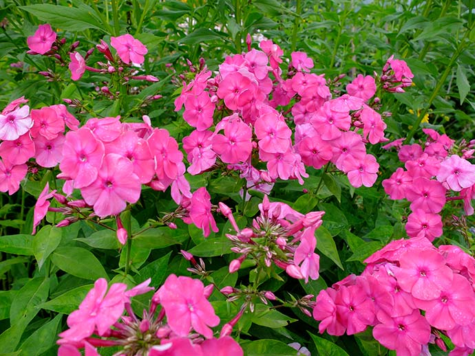 Флоксы многолетние ярко-розовые © blumgarden.ru