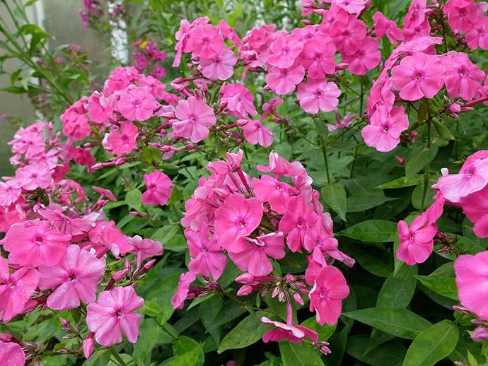 Флоксы ярко-розовые © blumgarden.ru