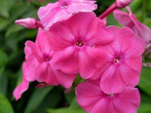 Флоксы многолетние ярко-розовые