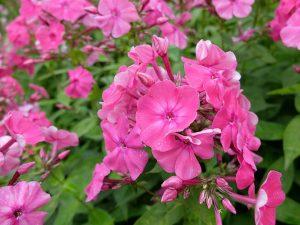 Цветы флоксы многолетние ярко-розовые © Blumgarden.ru