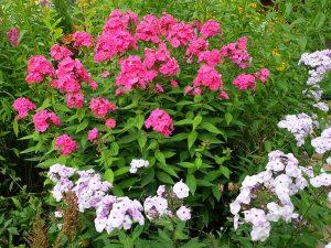 Цветы флоксы ярко-розовые и бело-сиреневые в цветнике © Blumgarden.ru
