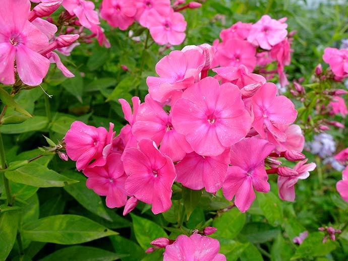 Флоксы метельчатые многолетние ярко-розовые © blumgarden.ru