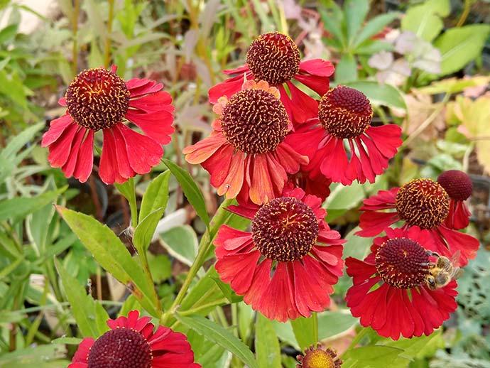 Гелениум красный (Helenium Autumnale Red)