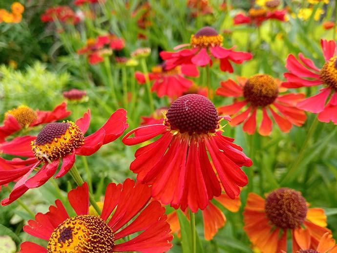 Гелениум осенний красный © blumgarden.ru