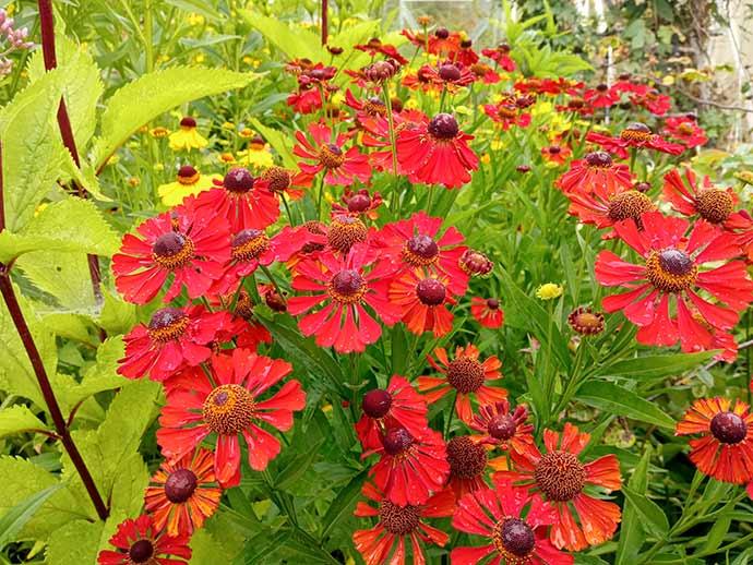 Гелениум красный (Helenium autumnale Red) © blumgarden.ru