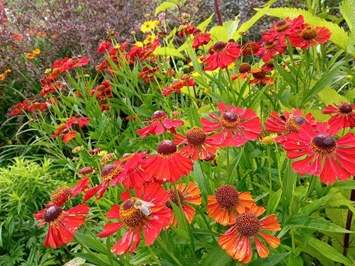 Гелениум красный в цветнике © blumgarden.ru