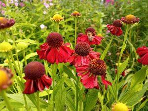 Гелениум красные цветы © Blumgarden.ru