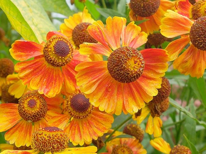 Гелениум оранжево-желтый © blumgarden.ru