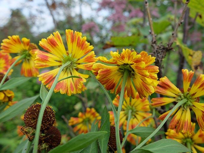 Цветок гелениума осеннего двухцветного снизу © blumgarden.ru