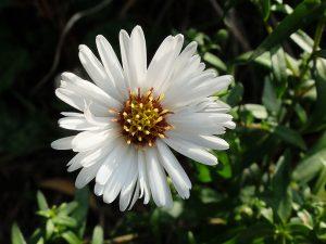 Цветок белой низкорослой астры многолетней © Blumgarden.ru