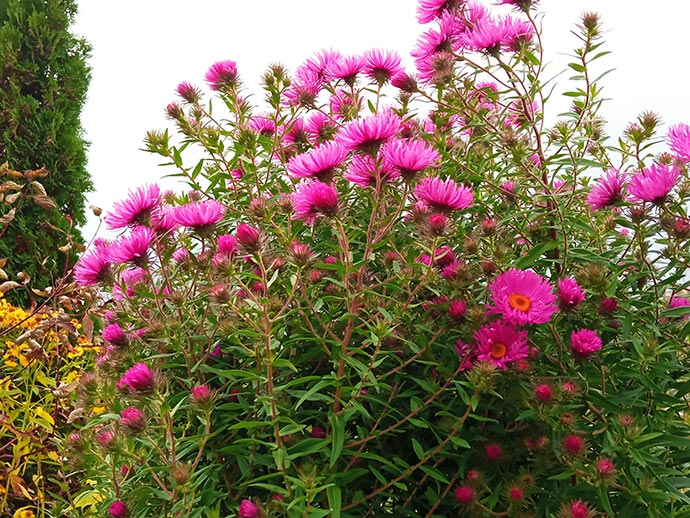 Астра новоанглийская розовая высокая © blumgarden.ru