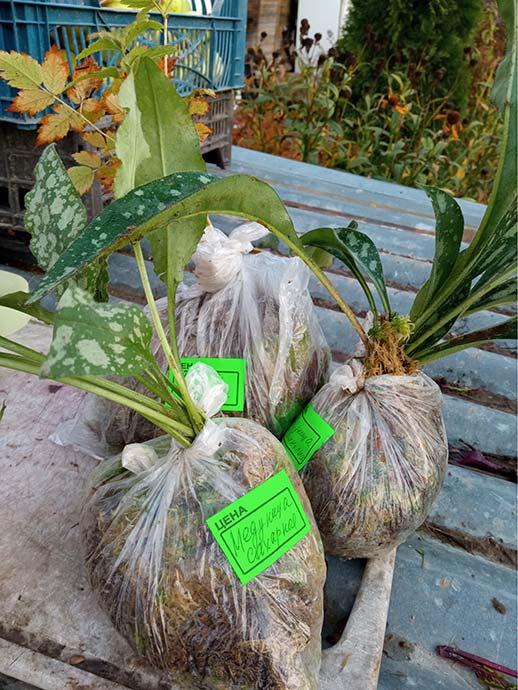 Медуница сахарная, медуница длиннолистная, астильба Пумилазаказ в Волгоградскую область © Blumgarden.ru