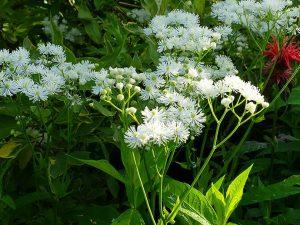 Траутфеттерия каролинская, или дланевидная (Trautvetteria Carolinensis)