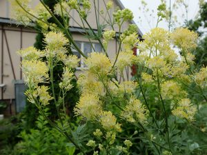 Василистник желтый в саду © Blumgarden.ru