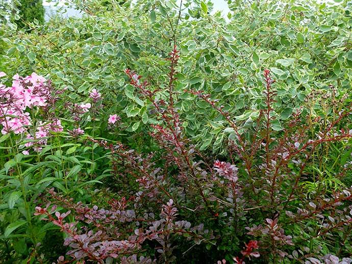 Дерен белый и барбарис пурпурный © blumgarden.ru