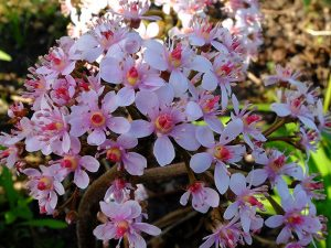 Цветок дармеры щитовидной © Blumgarden.ru