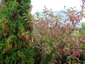 Дерен Элегантиссима осенью становится красно-розовым © blumgarden.ru