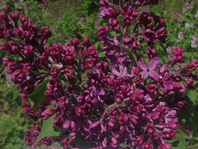 Сирень темно-пурпурная «Анна Шиач» (Syringa vulgaris Anne Shiach) © blumgarden.ru