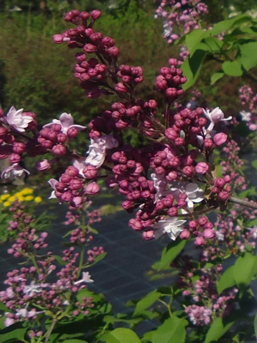 Сирень розовая «Свитхарт» © blumgarden.ru