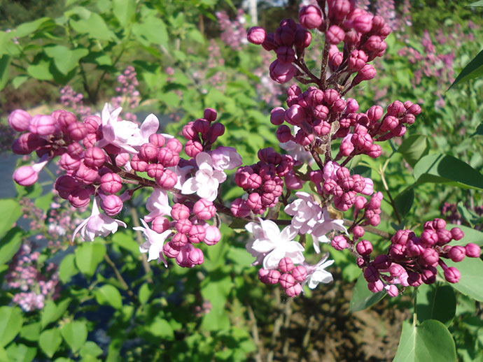 Сирень гиацинтоцветная «Свитхарт» (Syringa Hyacinthiflora Sweetheart)