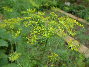 Укроп - растение семейство Зонтичные © Blumgarden.ru