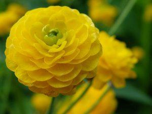 Лютик едкий махровый Hortensis (Ranunculus Acris)