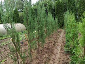 Можжевельник скальный «Скайрокет» (Juniperus Skopulorum Skyrocket)