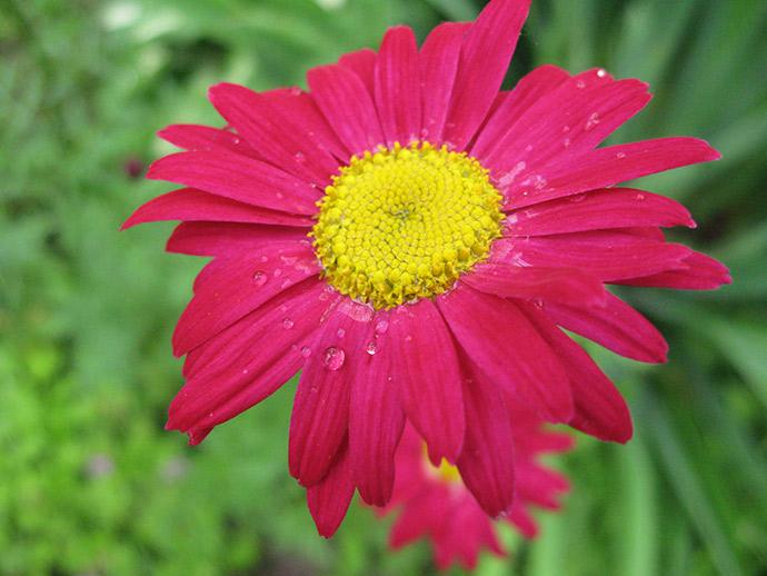 Пиретрум с карминно-красными цветами © blumgarden.ru