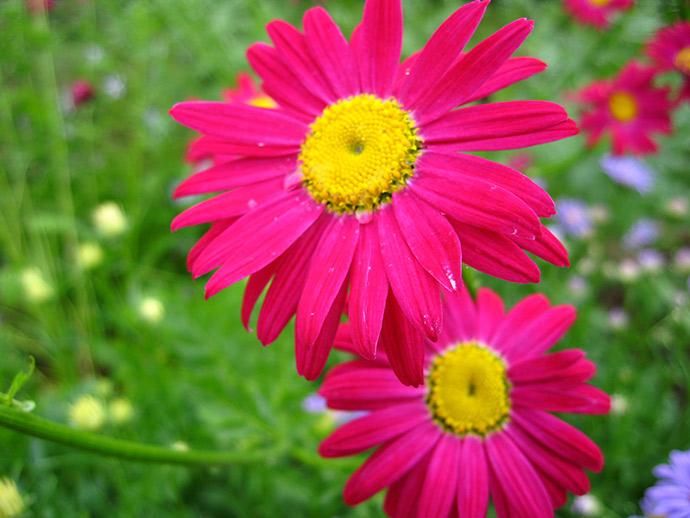 Пиретрум, розовая ромашка © blumgarden.ru