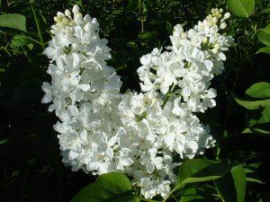 Сирень обыкновенная «Флора» (Flora)