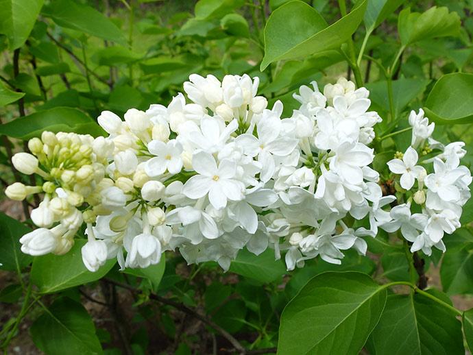Сирень белая Флора © blumgarden.ru