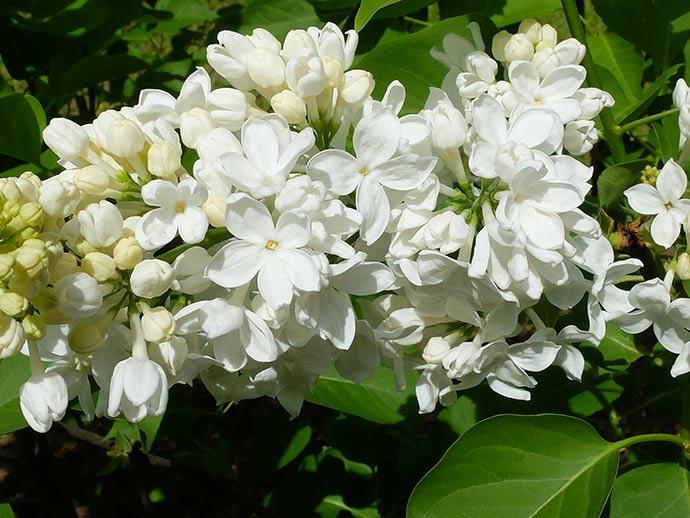 Сирень с белыми цветами Флора © blumgarden.ru