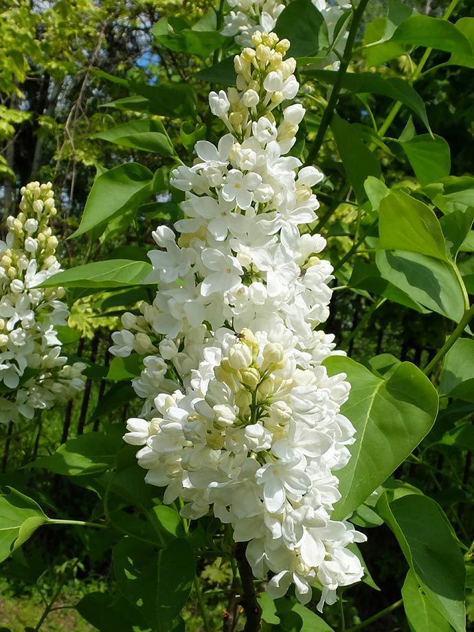 Сирень Flora (Флора) © blumgarden.ru