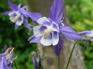 Аквилегия обыкновенная сине-белая, водосбор (Aquilegia Vulgaris Blue)