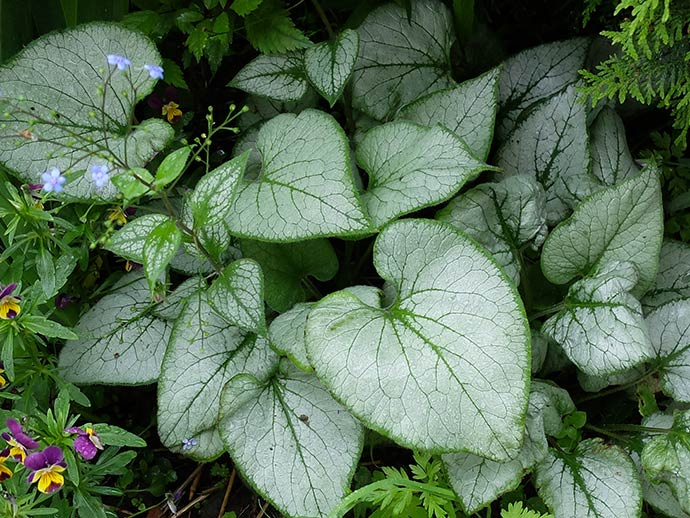 Бруннера крупнолистная «Лукинг Гласс» (Brunnera macrophylla Looking Glass) © blumgarden.ru