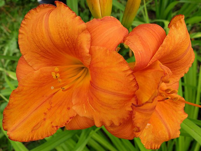 Лилейник оранжевый «Мауна Лоа» (Hemerocallis Mauna Loa) © blumgarden.ru