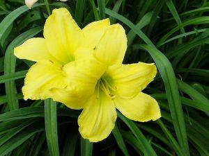 Два цветка желтого лилейника © Blumgarden.ru