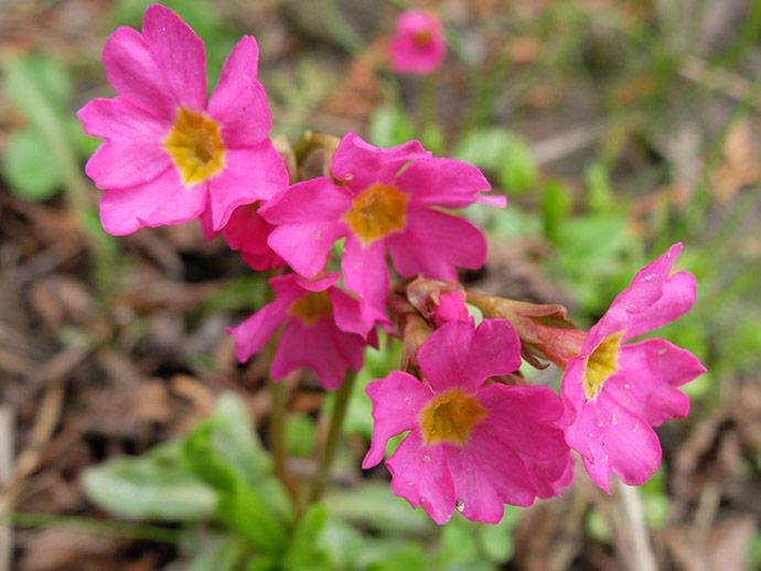 Примула розовая rosea © blumgarden.ru