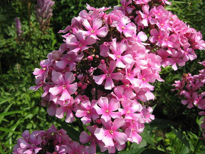 Флокс розовый метельчатый Мисс Элли © blumgarden.ru