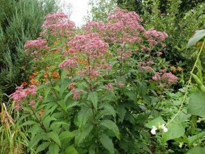 Цветковое растение для сада посконник © Blumgarden.ru