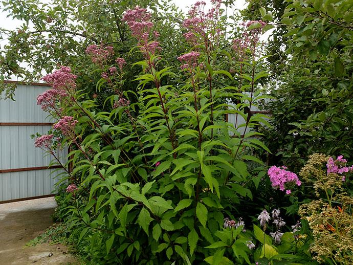 Цветы пурпурного посконника для ландшафтного сада © blumgarden.ru