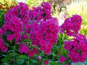 Флоксы садовые © Blumgarden.ru