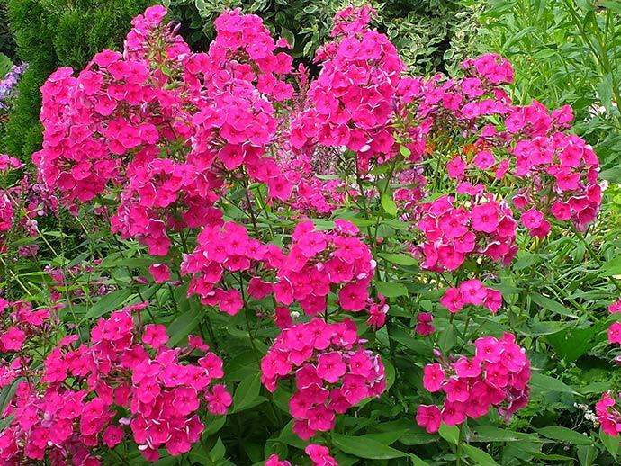 Флокс розово-малиновый © blumgarden.ru